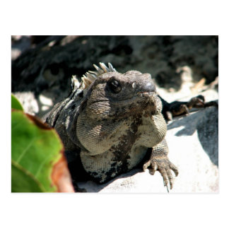 Iguana, Tulum, Mexico Postcard