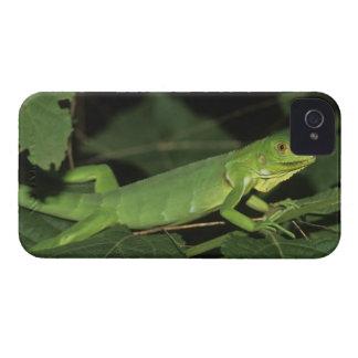 Iguana verde, (iguana de la iguana), iguanas comun Case-Mate iPhone 4 funda