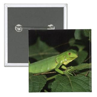 Iguana verde iguana de la iguana iguanas comun pins