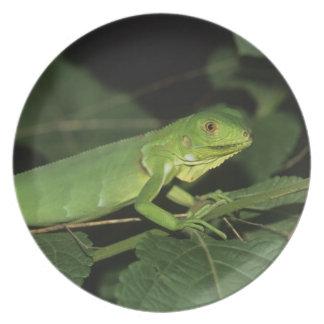 Iguana verde, (iguana de la iguana), iguanas comun plato de cena