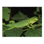 Iguana verde, (iguana de la iguana), iguanas comun postales
