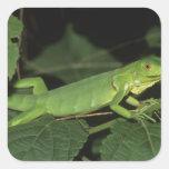 Iguana verde, (iguana de la iguana), iguanas pegatina cuadrada