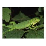 Iguana verde, (iguana de la iguana), iguanas postal