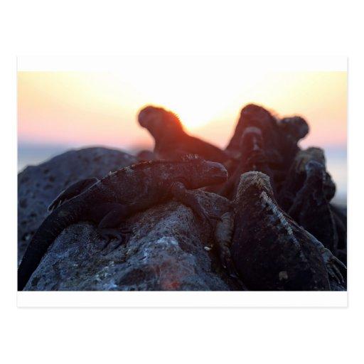 Iguanas marinas en las islas de las Islas Galápago Tarjeta Postal