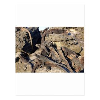 Iguanas marinas en roca volcánica islas de las Is