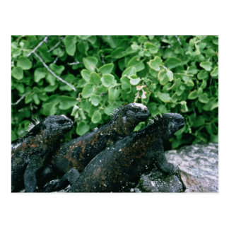 Iguanas marinas postales