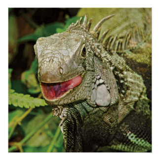 Iguanas prints, wall hangings, posters HUGE size