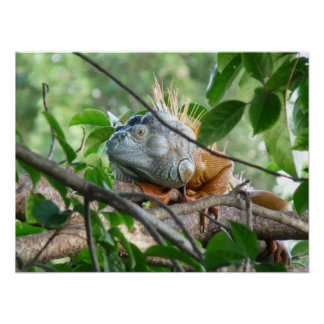 Iguanidae - nuevo lagarto del mundo póster