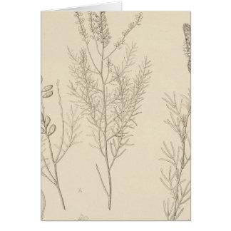 II Parryella, Petalostemon Card