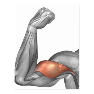 Illustration Of A Flexed Arm Showing Bicep Postcard