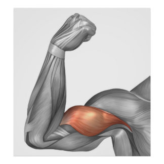 Illustration Of A Flexed Arm Showing Bicep Poster