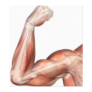 Illustration Of A Flexed Arm Showing Human Bicep Canvas Print