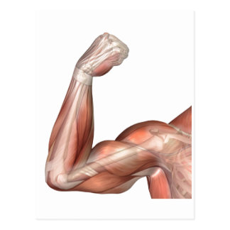 Illustration Of A Flexed Arm Showing Human Bicep Post Cards