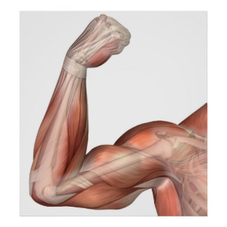 Illustration Of A Flexed Arm Showing Human Bicep Poster