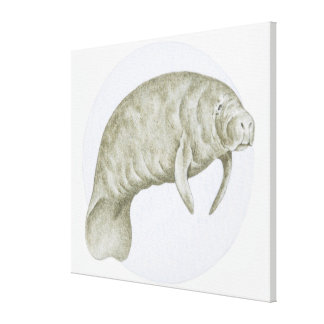 Illustration of a Manatee (Trichechus sp.) Canvas Print
