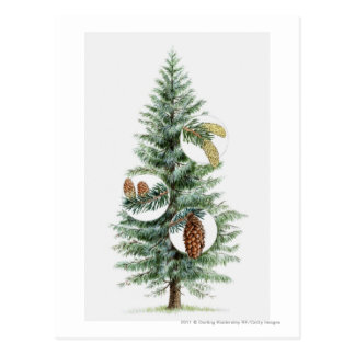 Illustration of coniferous tree with cones postcard