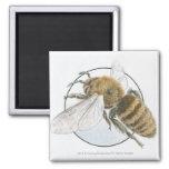 Illustration of European Honey Bee 2 Inch Square Magnet