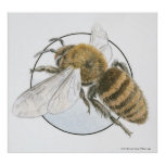 Illustration of European Honey Bee Poster