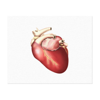 Illustration Of Human Heart Stretched Canvas Prints