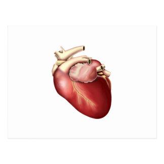 Illustration Of Human Heart Postcard