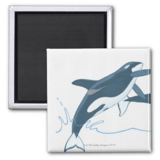 Illustration of Killer Whales (Orcinus orca) 2 Inch Square Magnet