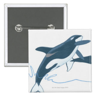 Illustration of Killer Whales (Orcinus orca) Pinback Button