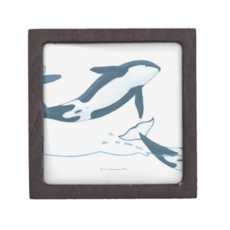 Illustration of Killer Whales (Orcinus orca) Gift Box