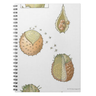 Illustration of the life cycle of a Selaginella Notebook