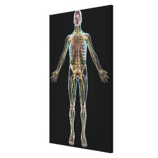 Illustration of the nervous system canvas print