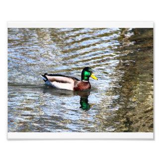 Ilusiones del pato silvestre # 7 cojinete