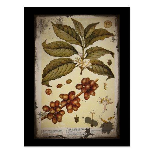 Imagen botánica del café del vintage postal