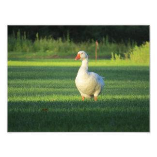 Imagen canadiense blanca del ganso fotografías
