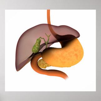 Imagen conceptual del sistema digestivo humano 1 impresiones