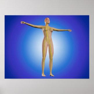 Imagen conceptual del sistema nervioso femenino póster