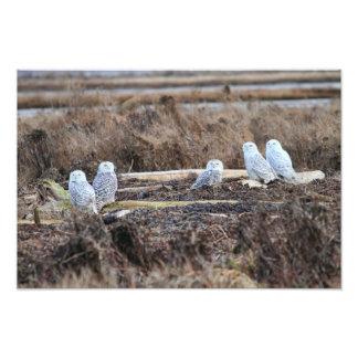 Imagen de cinco búhos Nevado Foto