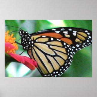 Imagen de la mariposa de monarca póster