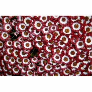 Imagen de las flores del Cineraria Escultura Fotográfica