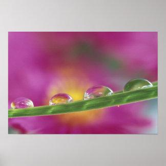 Imagen de los asteres formados en gotitas de agua posters