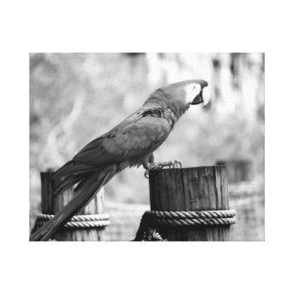 imagen del animal del bw del pájaro del macaw lona envuelta para galerías