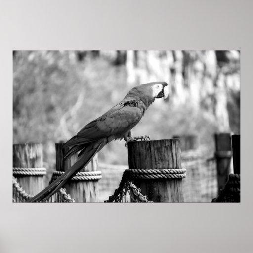 imagen del animal del bw del pájaro del macaw impresiones