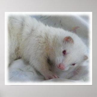 Imagen del hurón del albino póster