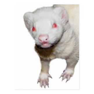Imagen del hurón del albino tarjetas postales