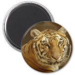 Imagen del tigre imán de frigorífico