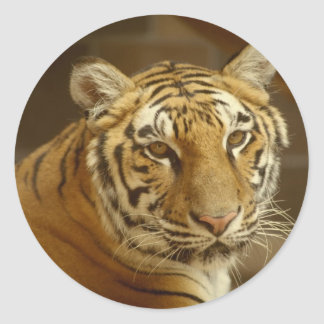 Imagen del tigre pegatina redonda