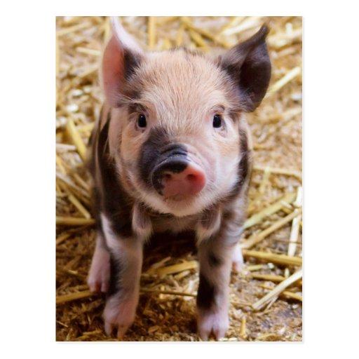 Imagen linda de un cerdo del bebé postal