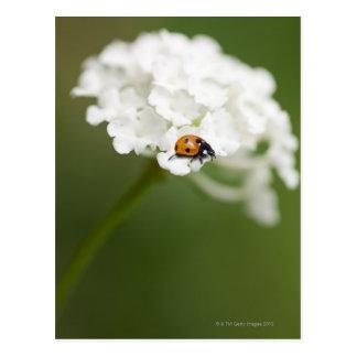 Imagen macra de una mariquita en una flor salvaje tarjeta postal