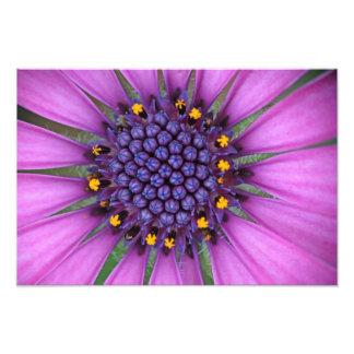 Imagen púrpura de la margarita fotografía