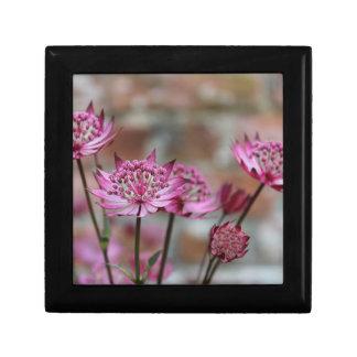 Imagen púrpura del Astrantia de la foto de la flor