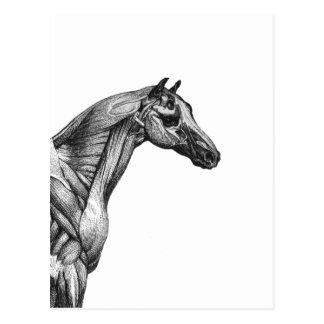 Imagen retra de la anatomía del músculo del tarjetas postales