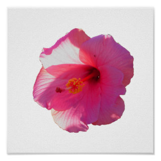 imagen rosada de la flor del hibisco posters